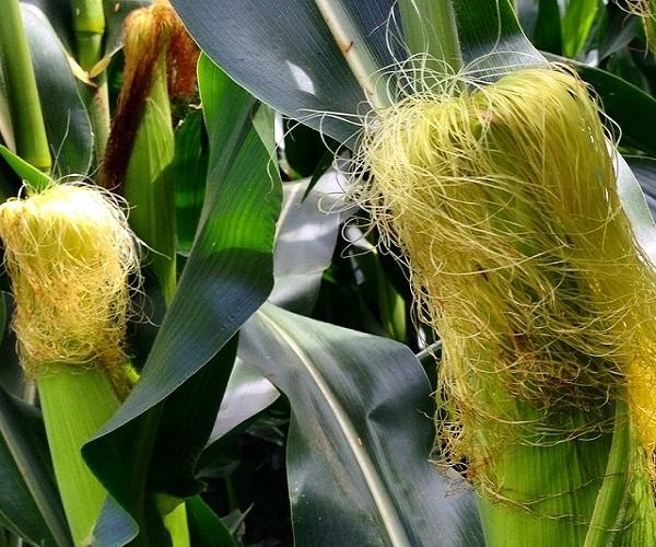 Травы для похудения кукурузные рыльца