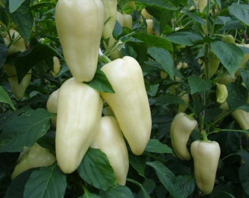 Перец Белозерка — описание и характеристика сорта