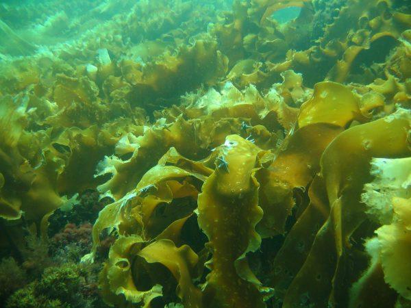 Морские водоросли за кожу без морщин