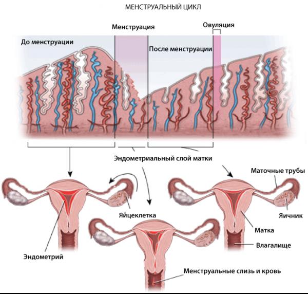 Зачатие во время месячных: правда или миф?