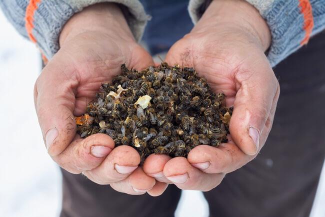 Пчелиный подмор для похудения: апитерапевты рекомендуют, диетологи уточняют, врачи предупреждают